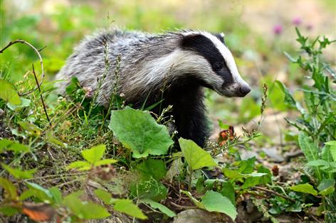 New survey puts spread of TB down to badgers