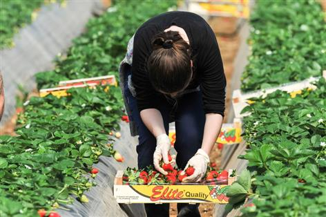 Farmers will fail to feed the nation if migrant workers are excluded from vital jobs, MPs are warned