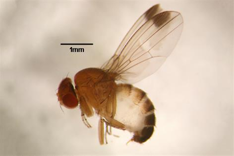 Spotted wing drosophila 'most serious threat' to UK fruit industry