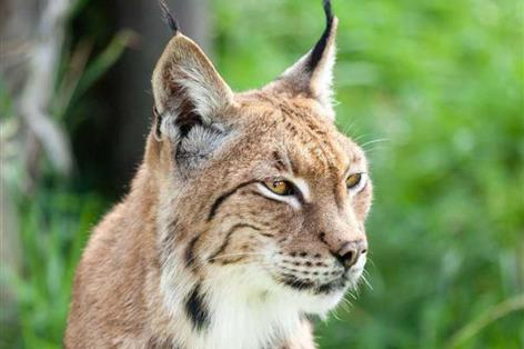 Deal agreed to insure UK's entire sheep population against lynx attacks