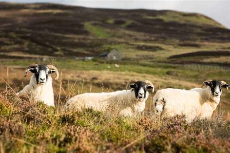 """Sheep dies after being shot """"with nails"""", police seeking information"""