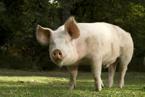 Denmark to build wall on German border to keep pig disease out