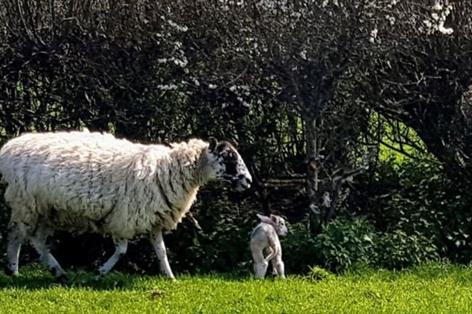 Fifty heavily pregnant ewes stolen from Dorset farm