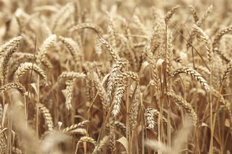 Scottish cereal harvest in 2018 affected by extreme weather
