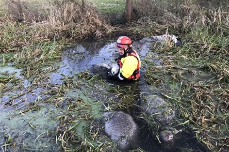Six sheep die and numerous rescued after falling in freezing river