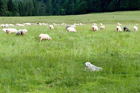 Suspected livestock worrying incident leaves 70 sheep dead
