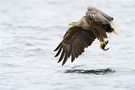 Sheep farmers challenge proposals to release sea eagles