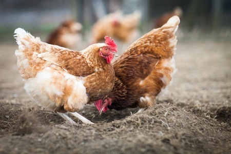 Using lighting for Free Range Hens