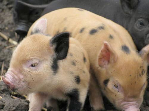 Rabobank China Pork Report