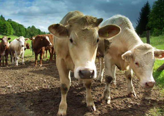 Questions and answers on Bovine TB