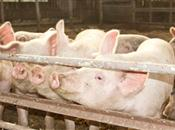 Exotic diseases of pigs, new regulations