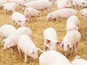 Improving piglet survival: a management ...