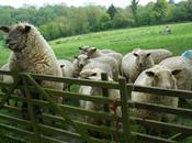 British Sheep Breeding in 2012