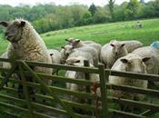 British Sheep Breeding in 2012