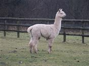 Louis the llama is the last line of defe...