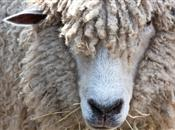 General licence for movement of sheep an...
