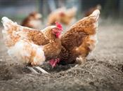48 things you can do to stop your hens p...