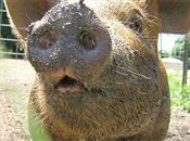 African and classical swine fever - GB d...