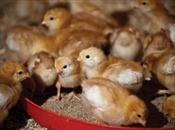 Can 100% Organic Diets Work For Poultry?