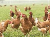 When should a free range pullet be allow...