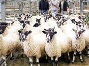 Scottish sheep scab legislation