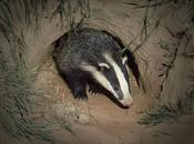 Guide on controlled shooting of badgers