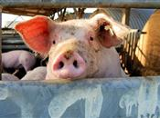 Evidence of GMO harm in pig study