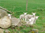 A vision for British lamb production