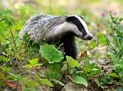Public Verdict on Plans to Expand the Badger Cull