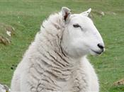 UK Yearbook  2015 Sheep