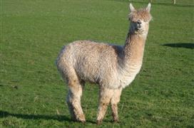 Ashdown Llama Farm