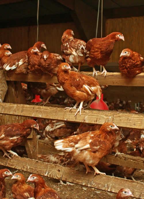 The Ranger magazine takes free range egg producers back to basics