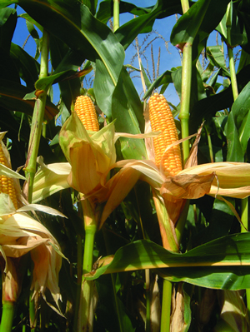 Three New 'Bred for Britain' Maize Varieties to be launched