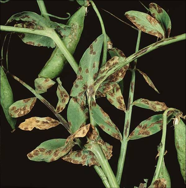 Unsettled weather brings increased disease pressure to peas