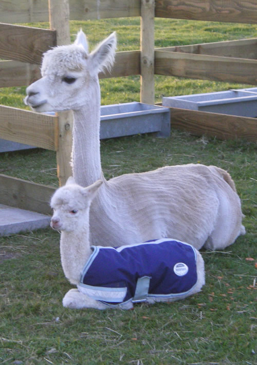 TB in Alpacas - My Story So Far