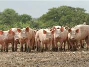 Ascaris infections can lead to reduced growth rates and 'milk spots' on pig livers