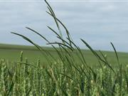 Dow AgroSciences is urging wheat growers to instigate a robust grassweed control programme