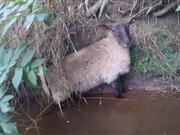 The sheep had fallen from the riverbank into the water and been trapped for at least three hours