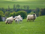 Co-op and Marks and Spencer's have recently announced their intention to further source British lamb