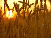 Climate change 'could rapidly threaten' staple foods – such as wheat and barley