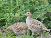 In some parts of England, wild grey partridge production appears to have been low