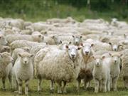 Sheep farmers must be on their guard against liver fluke this autumn