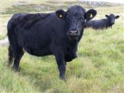 Welsh Black cattle have established a new foothold in Germany