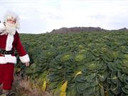 Northern Ireland's vegetable producers are feeling festive