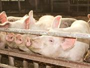 Researchers find bacteria on US pig farm which can withstand 'crucial' antibiotics