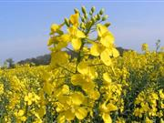 Aggressive oilseed rape pathogen subject of a three year study