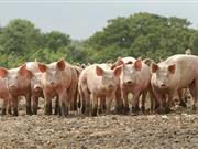 'Without EU labour there will be no British pig industry as we know it,' farmers warn