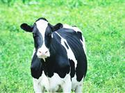 Scientists breed hornless cows which are unable to gore farmers or threaten dog walkers