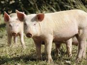 Irish-based pig breeder joins UK genetics group Genus