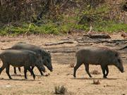 UK pig industry warns of feral boars as African swine fever spreads in the Baltics